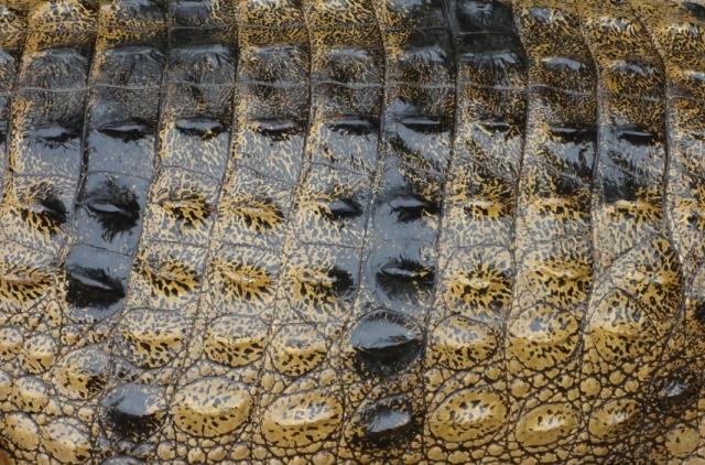زيت التمساح (2)