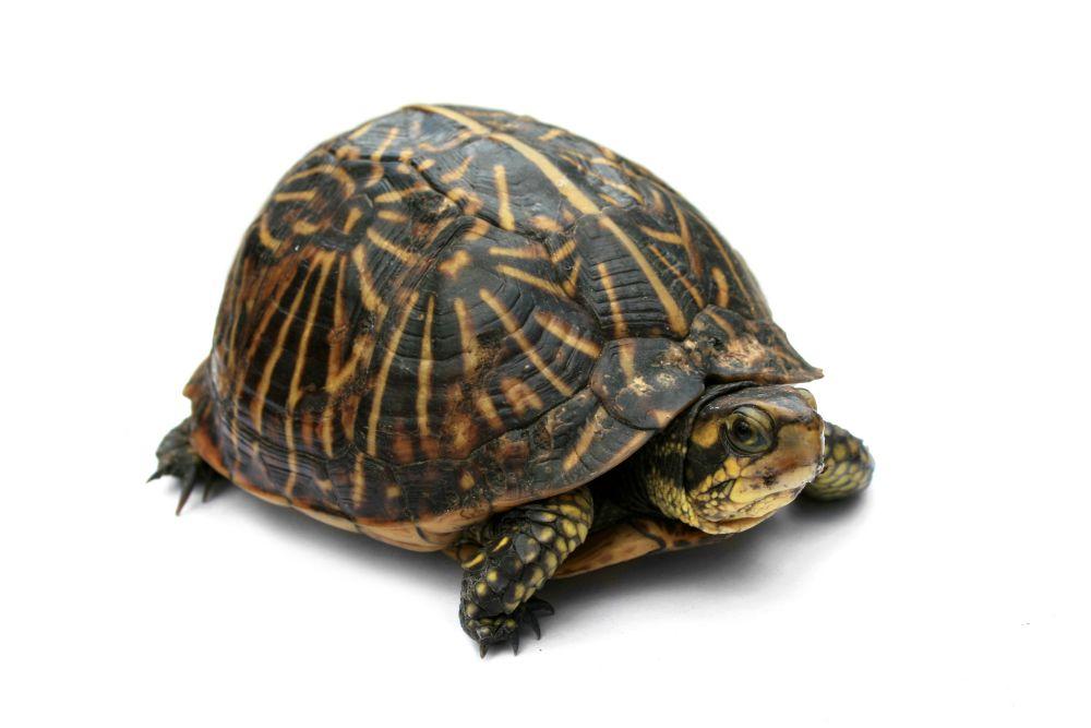 resized_Florida_Box_Turtle_Digon3