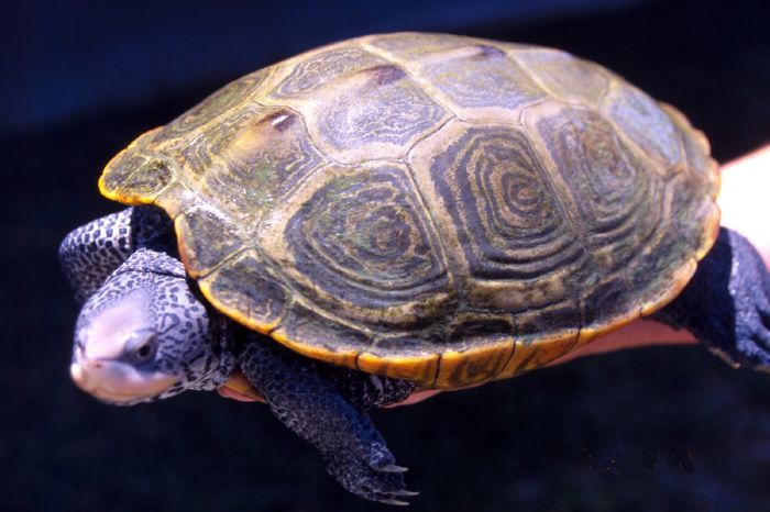 resized_Diamondback_turtle_adult_female