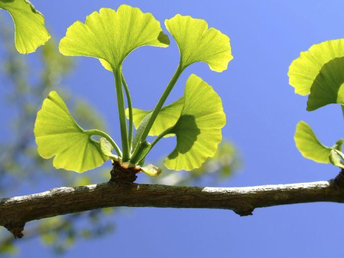 شجرة الجنكيجو بيلوبا