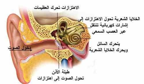مكونات الاذن
