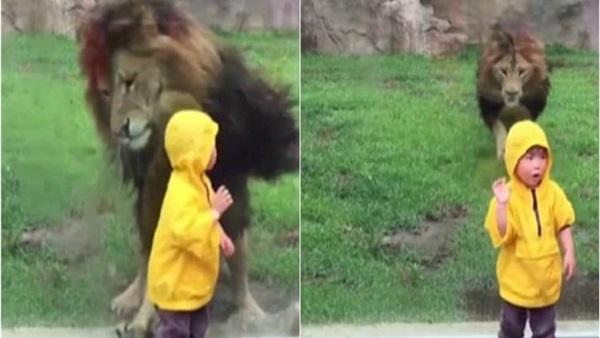 معركة خطيرة بين أسد وطفل تحسم لصالح الأضعف