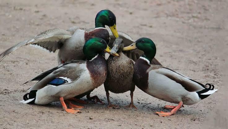سرب من البط يكسب قضية ضد شخص رفع شكوى ضدهم !