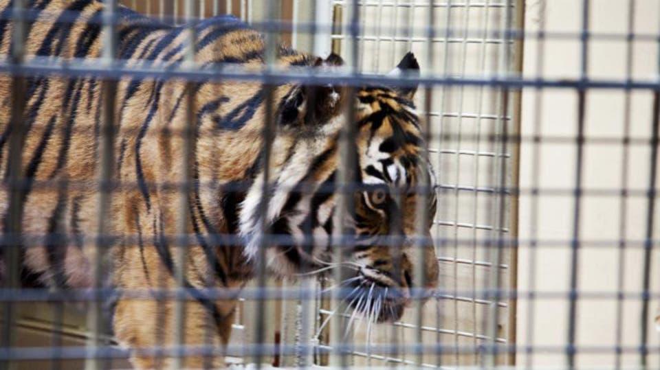فتاة تنال عقاب قاسي بعد التقاط سيلفي مع نمر