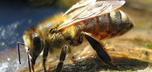 العثور على نحلة تبلغ من العمر ٩٩ مليون عام !!