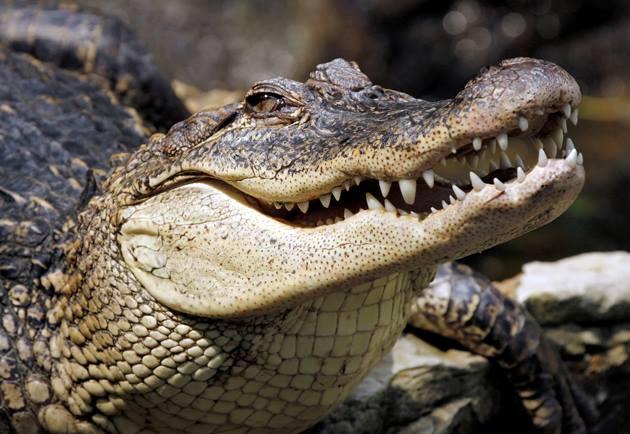 العثور تمساح بعمر الـ ٢٥ في قبو منزل والسلطات تتحرك