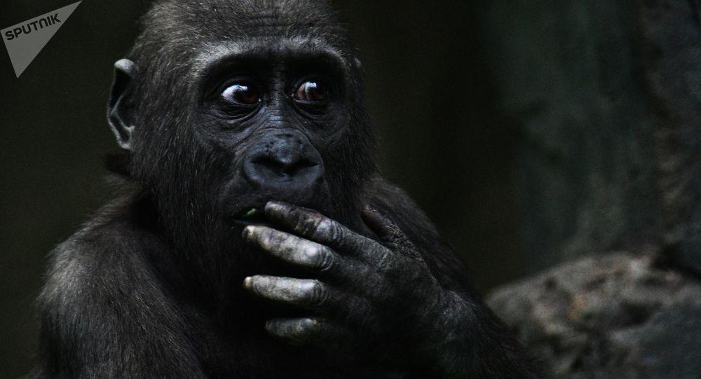 حديقة حيوانات تشهد ولادة تاريخية لفصيلة نادرة من الغوريلا