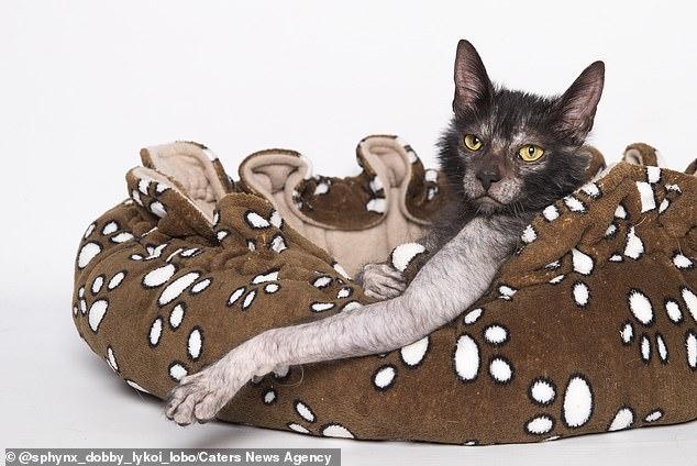 العثور على فصيلة نادرة من القطط تشبه الذئاب