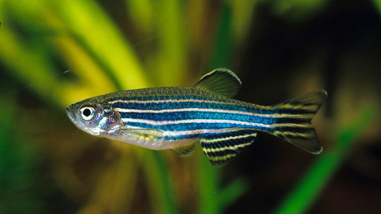 دراسة بحثية: الأسماك تعاني من الاكتئاب واليأس